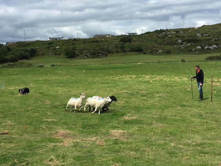Sheepsdog Trials